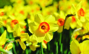 مليون زهرة نرجس في ديترويت بحلول ٢٠٢٠