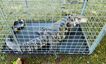 العثور على سحلية عملاقة في ديربورن هايتس