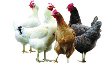 تربية الدجاج في الباكيارد