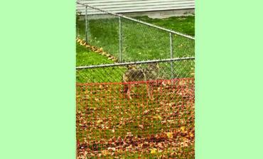 ذئاب «الكويوتي» تظهر مجدداً في أحياء ديربورن السكنية .. ونصائح لتفادي خطرها