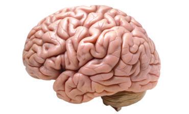 السمنة تزيد شيخوخة الدماغ 10 سنوات