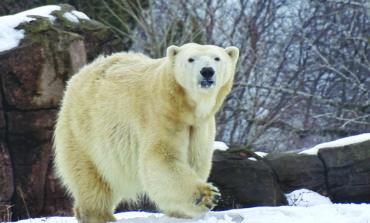 حديقة الحيوان في ديترويت تستعين بدبة قطبية مع اقتراب موسم التزاوج