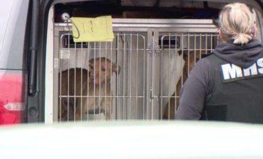 إنقاذ كلاب تستخدم في المصارعة بديترويت