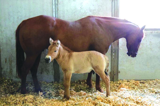 استنساخ حصان مهدد بالانقراض من مادة وراثية عمرها 40 عاماً