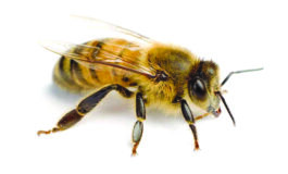 العالم يفقد النحل بوتيرة متسارعة