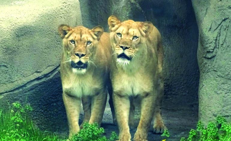 حديقة حيوان ديترويت تبدأ بتحصين بعض الحيوانات ضد كورونا